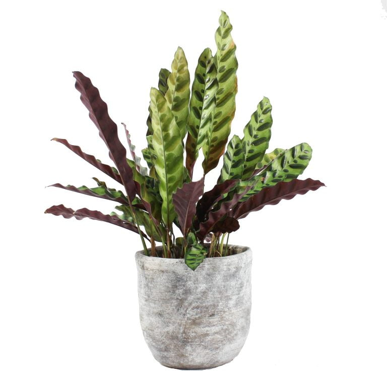 [Bloombox Club] Calathea Lancifolia with pot, £30