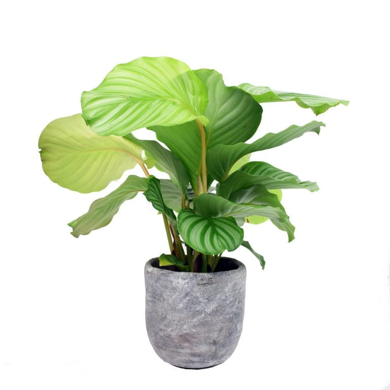 [Bloombox Club] Calathea Orbifolia with pot, £35