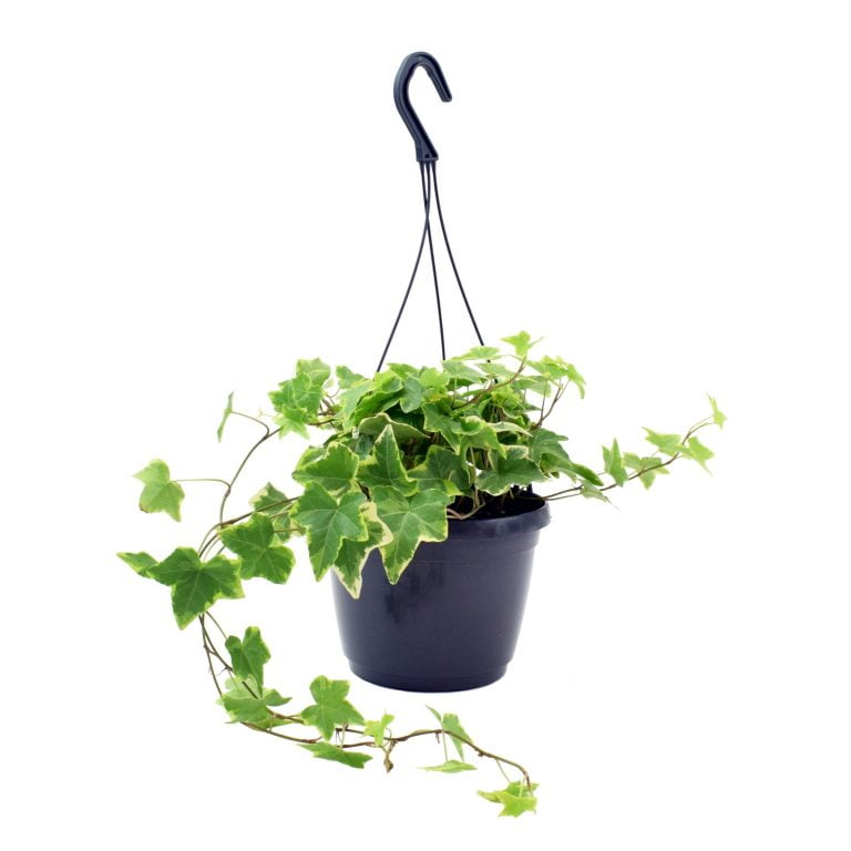 [Bloombox Club] English Ivy Yellow Ripple with pot, £27