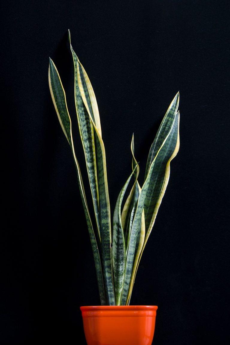 Sansevieria plant - Wyevale Garden Centre